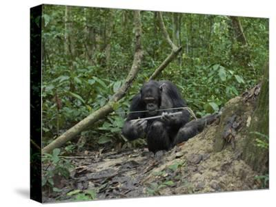 A Chimp at a Termite Mound Fishing with a Probe and Puncturing Stick-Ian Nichols-Stretched Canvas Print