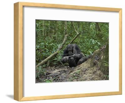 A Chimp at a Termite Mound Fishing with a Probe and Puncturing Stick-Ian Nichols-Framed Photographic Print