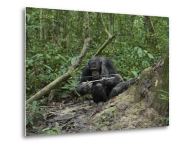 A Chimp at a Termite Mound Fishing with a Probe and Puncturing Stick-Ian Nichols-Metal Print