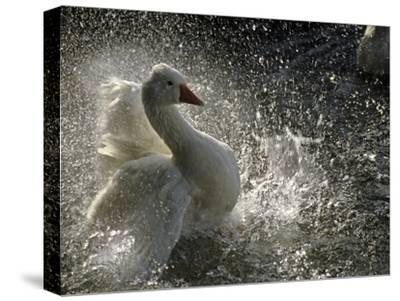 A Duck Splashes in the Water of Lake Banyoles-Tino Soriano-Stretched Canvas Print