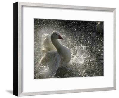 A Duck Splashes in the Water of Lake Banyoles-Tino Soriano-Framed Photographic Print