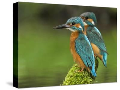 Adult Common Kingfisher Couple, Alcedo Atthis, on a Mossy Branch-Joe Petersburger-Stretched Canvas Print