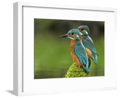 Adult Common Kingfisher Couple, Alcedo Atthis, on a Mossy Branch-Joe Petersburger-Framed Photographic Print