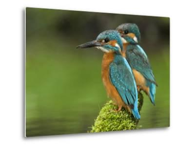 Adult Common Kingfisher Couple, Alcedo Atthis, on a Mossy Branch-Joe Petersburger-Metal Print