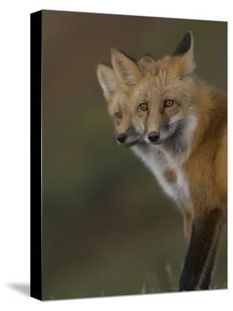 Adult Red Fox (Vulpes Vulpes) in Alaska-Michael S^ Quinton-Stretched Canvas Print
