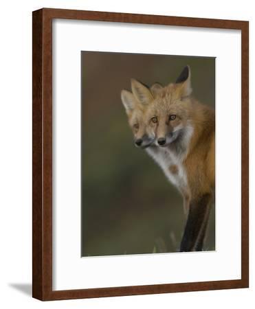Adult Red Fox (Vulpes Vulpes) in Alaska-Michael S^ Quinton-Framed Photographic Print