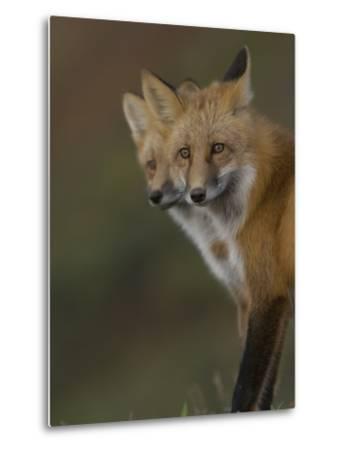 Adult Red Fox (Vulpes Vulpes) in Alaska-Michael S^ Quinton-Metal Print