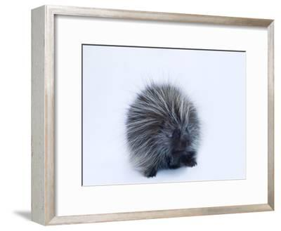 Portrait of a Porcupine, Erethizon Dorsatum-Joel Sartore-Framed Photographic Print