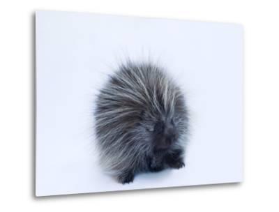 Portrait of a Porcupine, Erethizon Dorsatum-Joel Sartore-Metal Print