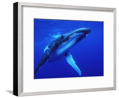 Humpback Whale (Megaptera Novaeangliae) Swimming, Underwater, Tonga-Mike Parry/Minden Pictures-Framed Photographic Print