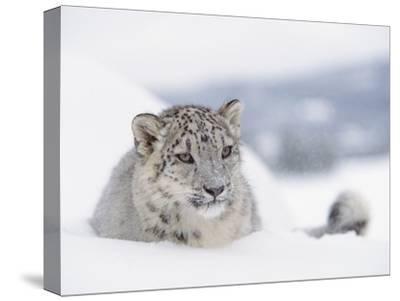 Snow Leopard (Uncia Uncia) Adult Portrait in Snow, Endangered-Tim Fitzharris/Minden Pictures-Stretched Canvas Print