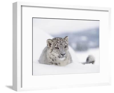 Snow Leopard (Uncia Uncia) Adult Portrait in Snow, Endangered-Tim Fitzharris/Minden Pictures-Framed Photographic Print