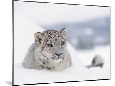 Snow Leopard (Uncia Uncia) Adult Portrait in Snow, Endangered-Tim Fitzharris/Minden Pictures-Mounted Photographic Print