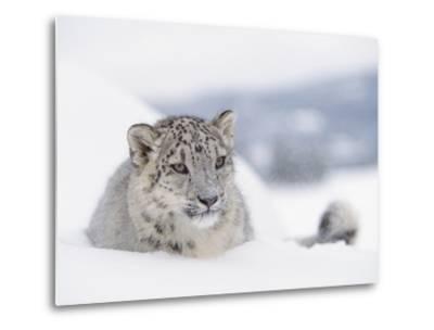 Snow Leopard (Uncia Uncia) Adult Portrait in Snow, Endangered-Tim Fitzharris/Minden Pictures-Metal Print