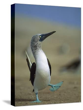 Blue-Footed Booby (Sula Nebouxii) Courtship Dance, Lobos De Tierra Island, Peru-Tui De Roy/Minden Pictures-Stretched Canvas Print