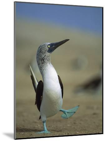 Blue-Footed Booby (Sula Nebouxii) Courtship Dance, Lobos De Tierra Island, Peru-Tui De Roy/Minden Pictures-Mounted Photographic Print