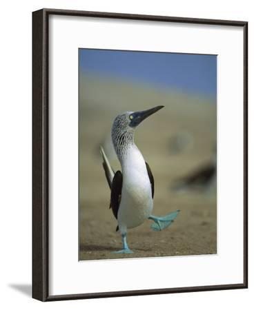 Blue-Footed Booby (Sula Nebouxii) Courtship Dance, Lobos De Tierra Island, Peru-Tui De Roy/Minden Pictures-Framed Photographic Print