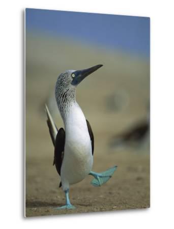 Blue-Footed Booby (Sula Nebouxii) Courtship Dance, Lobos De Tierra Island, Peru-Tui De Roy/Minden Pictures-Metal Print
