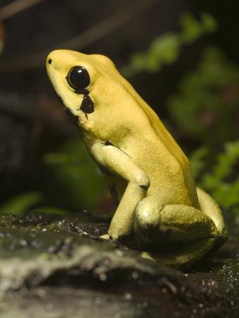 Golden Poison Dart Frog (Phyllobates Terribilis) Portrait, Native to Columbia-Albert Lleal/Minden Pictures-Framed Photographic Print