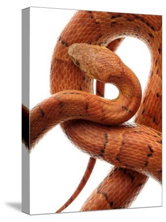 Cornsnake (Elaphe Guttata), Non-Venomous-Albert Lleal/Minden Pictures-Stretched Canvas Print