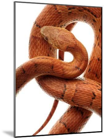 Cornsnake (Elaphe Guttata), Non-Venomous-Albert Lleal/Minden Pictures-Mounted Photographic Print