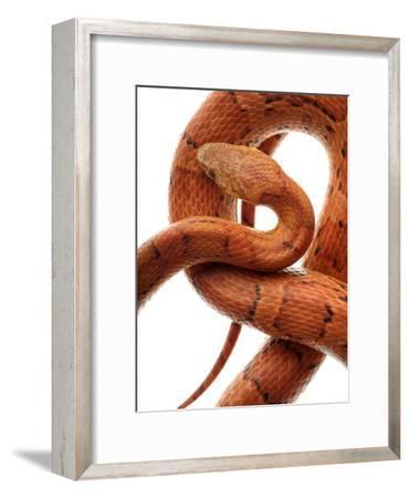 Cornsnake (Elaphe Guttata), Non-Venomous-Albert Lleal/Minden Pictures-Framed Photographic Print