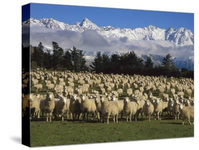 Domestic Sheep (Ovis Aries) in the Southern Alps, Rakaia River Valley, Canterbury, New Zealand-Colin Monteath/Minden Pictures-Stretched Canvas Print