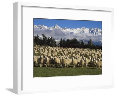 Domestic Sheep (Ovis Aries) in the Southern Alps, Rakaia River Valley, Canterbury, New Zealand-Colin Monteath/Minden Pictures-Framed Photographic Print