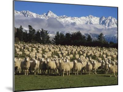 Domestic Sheep (Ovis Aries) in the Southern Alps, Rakaia River Valley, Canterbury, New Zealand-Colin Monteath/Minden Pictures-Mounted Photographic Print