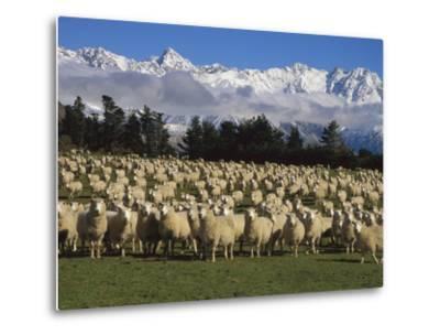 Domestic Sheep (Ovis Aries) in the Southern Alps, Rakaia River Valley, Canterbury, New Zealand-Colin Monteath/Minden Pictures-Metal Print