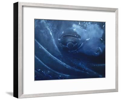 Humpback Whale (Megaptera Novaeangliae) Close-Up of Eye, Maui (Photo Obtained under NMFS Permit)-Flip Nicklin/Minden Pictures-Framed Photographic Print
