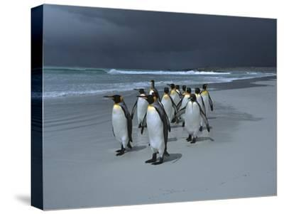 King Penguin (Aptenodytes Patagonicus) Group Walking Along Beach, Falkland Islands-Hiroya Minakuchi/Minden Pictures-Stretched Canvas Print