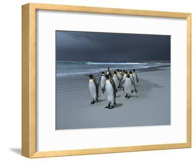 King Penguin (Aptenodytes Patagonicus) Group Walking Along Beach, Falkland Islands-Hiroya Minakuchi/Minden Pictures-Framed Photographic Print
