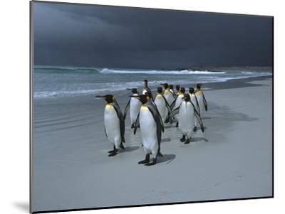 King Penguin (Aptenodytes Patagonicus) Group Walking Along Beach, Falkland Islands-Hiroya Minakuchi/Minden Pictures-Mounted Photographic Print