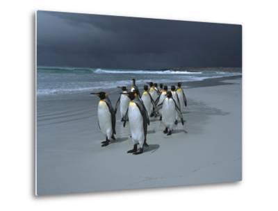 King Penguin (Aptenodytes Patagonicus) Group Walking Along Beach, Falkland Islands-Hiroya Minakuchi/Minden Pictures-Metal Print