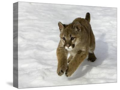 Mountain Lion (Felis Concolor) Cub in the Snow, Kalispell, Montana-Matthias Breiter/Minden Pictures-Stretched Canvas Print