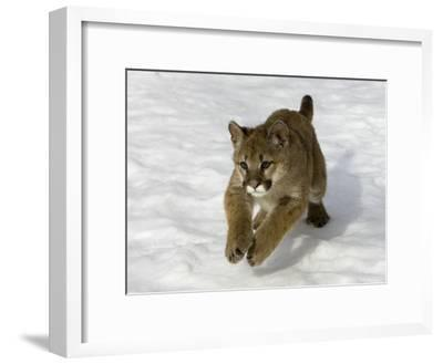 Mountain Lion (Felis Concolor) Cub in the Snow, Kalispell, Montana-Matthias Breiter/Minden Pictures-Framed Photographic Print