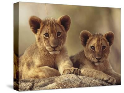 African Lion (Panthera Leo) Cubs Resting on a Rock, Hwange National Park, Zimbabwe, Africa-Tim Fitzharris/Minden Pictures-Stretched Canvas Print