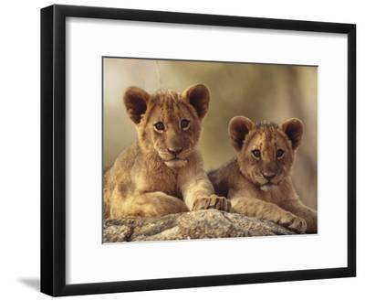 African Lion (Panthera Leo) Cubs Resting on a Rock, Hwange National Park, Zimbabwe, Africa-Tim Fitzharris/Minden Pictures-Framed Photographic Print