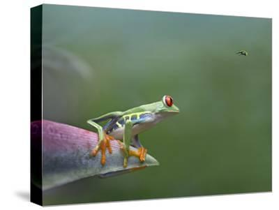 Red-Eyed Tree Frog (Agalychnis Callidryas) Eyeing Bee Fly (Bombyliidae) Costa Rica-Tim Fitzharris/Minden Pictures-Stretched Canvas Print