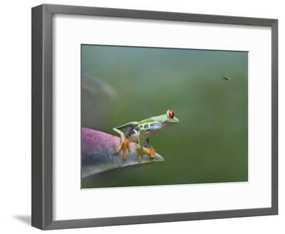 Red-Eyed Tree Frog (Agalychnis Callidryas) Eyeing Bee Fly (Bombyliidae) Costa Rica-Tim Fitzharris/Minden Pictures-Framed Photographic Print