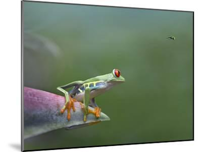 Red-Eyed Tree Frog (Agalychnis Callidryas) Eyeing Bee Fly (Bombyliidae) Costa Rica-Tim Fitzharris/Minden Pictures-Mounted Photographic Print