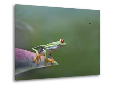 Red-Eyed Tree Frog (Agalychnis Callidryas) Eyeing Bee Fly (Bombyliidae) Costa Rica-Tim Fitzharris/Minden Pictures-Metal Print