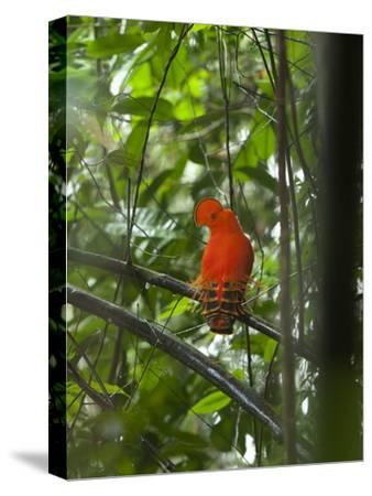 Guianan Cock-Of-The-Rock (Rupicola Rupicola) Male at Lek, Las Claritas, Venezuela-Ch'len Lee/Minden Pictures-Stretched Canvas Print