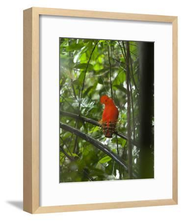 Guianan Cock-Of-The-Rock (Rupicola Rupicola) Male at Lek, Las Claritas, Venezuela-Ch'len Lee/Minden Pictures-Framed Photographic Print
