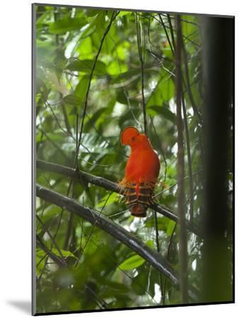Guianan Cock-Of-The-Rock (Rupicola Rupicola) Male at Lek, Las Claritas, Venezuela-Ch'len Lee/Minden Pictures-Mounted Photographic Print