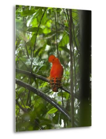 Guianan Cock-Of-The-Rock (Rupicola Rupicola) Male at Lek, Las Claritas, Venezuela-Ch'len Lee/Minden Pictures-Metal Print