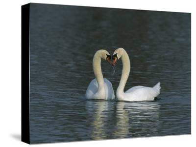 Mute Swan (Cygnus Olor) Pair Courting, Switzerland-Thomas Marent/Minden Pictures-Stretched Canvas Print