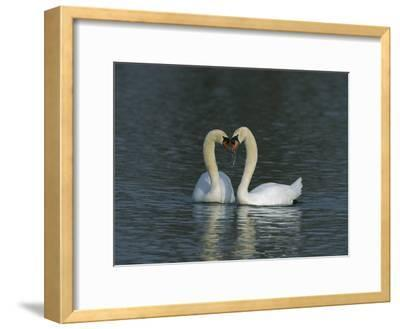 Mute Swan (Cygnus Olor) Pair Courting, Switzerland-Thomas Marent/Minden Pictures-Framed Photographic Print