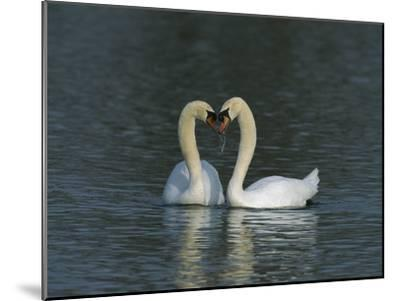 Mute Swan (Cygnus Olor) Pair Courting, Switzerland-Thomas Marent/Minden Pictures-Mounted Photographic Print